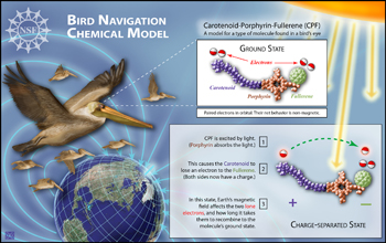 Text and illustrations: bird navigation chemical model.