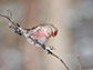 a Common Redpoll