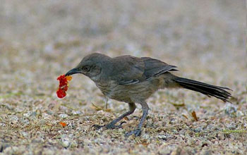 Photo of a curve-billed thrasher foraging in a xeric yard in Phoenix.