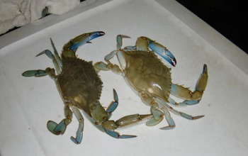 Two mature male blue crabs with the distinctive color of their claws and walking legs.