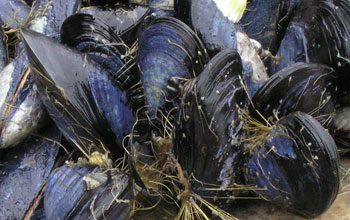 group of blue mussels anchored to rocks with byssal threads