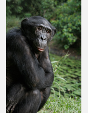 Photo of a bonobo named Mimi, the alpha female, having a little down time.