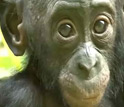 Image of a baby bonobo at the Lola ya Bonobo sanctuary in the Democratic Republic of the Congo.
