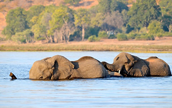 African elephants in the Chobe River