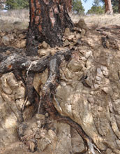 Photo of a ponderosa pine extending its roots into rock below.