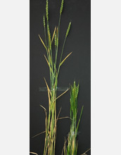 Photo of wheat plants.