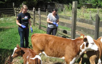 Two biologists next to cows on a farm