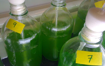 Photo of bright green microalgae growing in the laboratory.