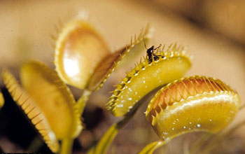 Photo of Venus flytraps.
