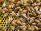 Honey bee synchronicity inspired new algorithms to help computer servers work together.