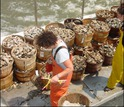 NSF EEID researchers collect oysters from the Delaware Bay fishery to test for disease.