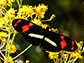 Study reveals surprising amount of gene flow among butterfly species
