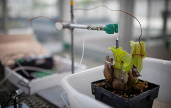 A northern pitcher plant with oxygen sensors inside a lab