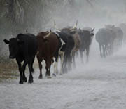 Moving cattle herd