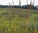 Indian Grass and other prairie plants bend in Minnesota breezes.