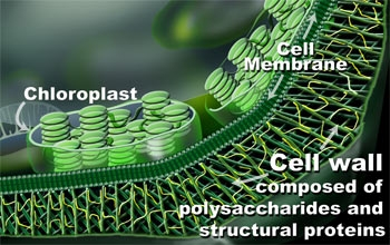 Scaling the plant cell wall all images nsf national science generalized plant cell wall ccuart Image collections