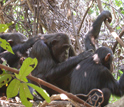 Photo of chimpanzees grooming each other.
