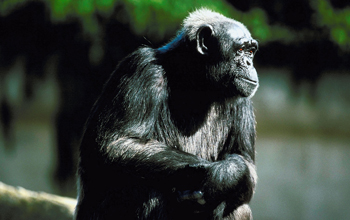Photo of a chimpanzee.