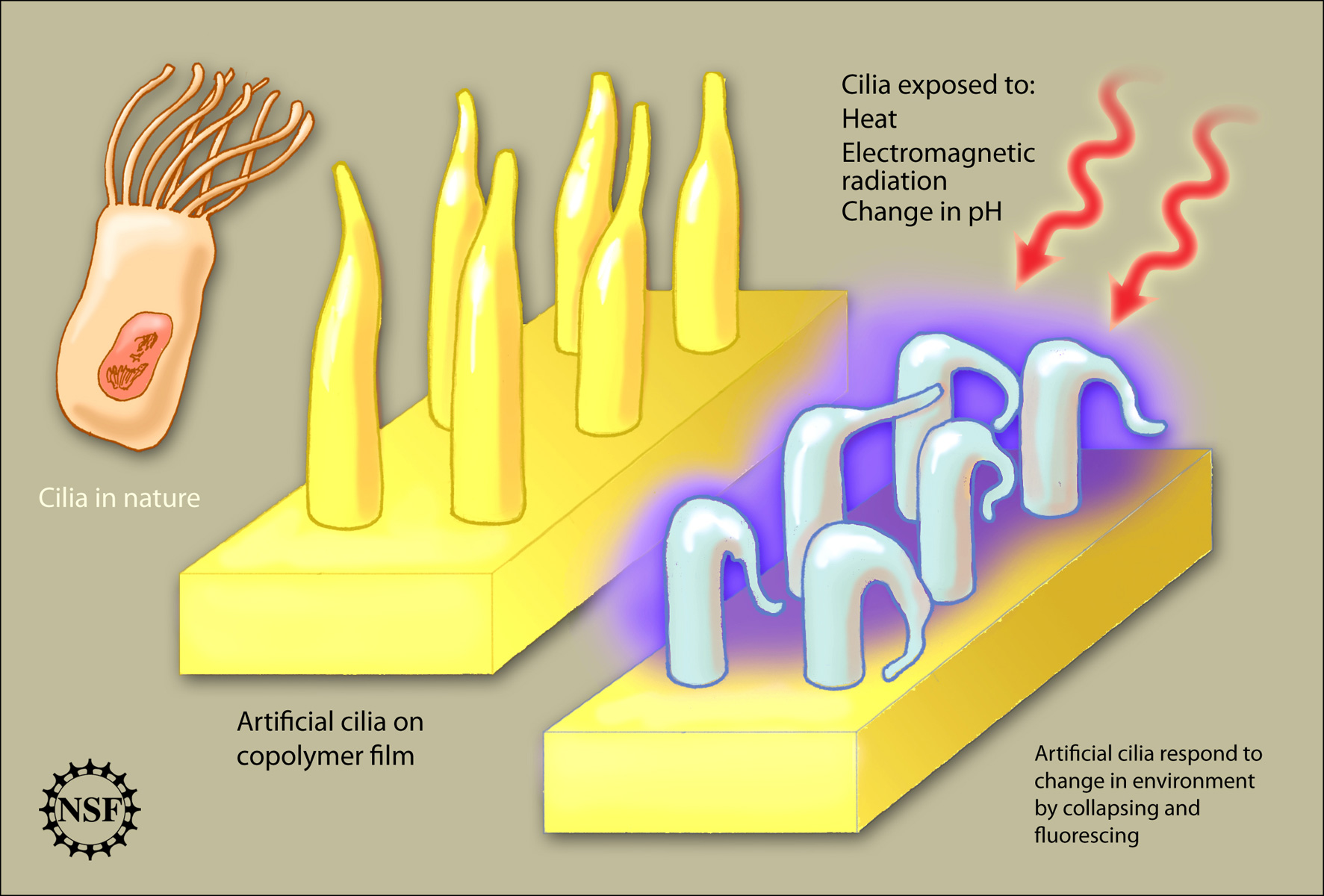 Cilia revolution all images nsf national science foundation download ccuart Gallery