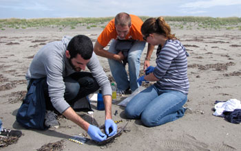 Photo of COASST volunteers tagging a sooty shearwater.