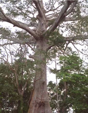 Giant kapok tree near the Amazon River.