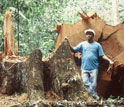 Mahogany tree that fallen down in the Amazon forest.