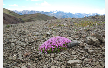 Photo of a single moss campion plant.