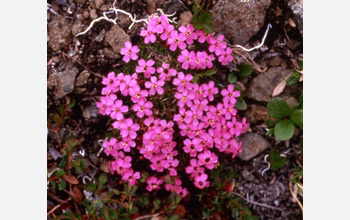 Photo of a moss campion in flower.