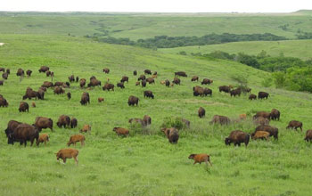 bison on the prairie.