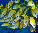 Image of a school of tropical fish.