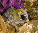 Image of a moray eel in a coral reef.