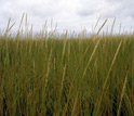 Photo of Spartina grass.