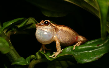 Photo of a tropical common coqui frog singing.