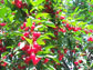 Photo of a fruiting sour cherry trees.
