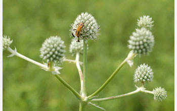 Photo of a plant and insect in the Chicago Wilderness.