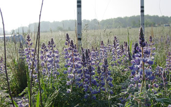 Photo of a wild lupine at NSF's Cedar Creek Long-Term Ecological Research site in Minnesota.