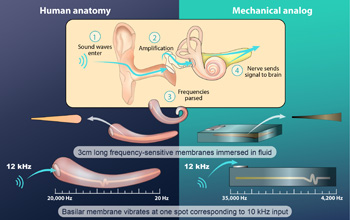 This illustration compares the artificial cochlea to its mammalian counterpart.