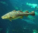 a school of cod fish swimming