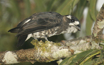 white-browed purpletuft