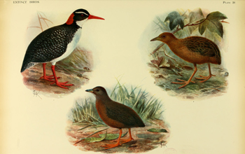 Illustrations of the extinct Hawaiian Rail and Hawaiian Spotted Rail or Hawaiian Crake.