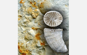 Image showing corals and other fossils.