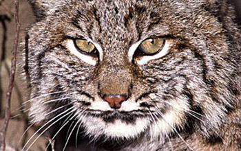 Photo of a bobcat face.