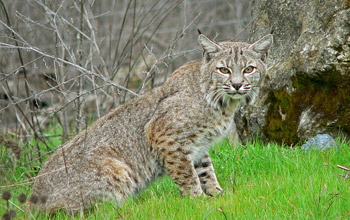 Photo of a bobcat in the wild.
