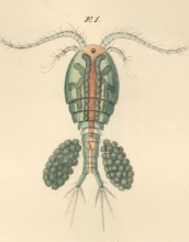 Copepods like the one in this watercolor have much to tell scientists about evolution.
