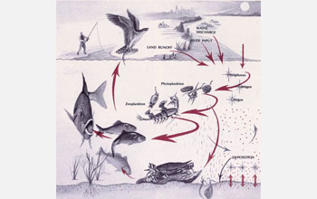 Illustration showing the role of copepods in the food web of an estuary.