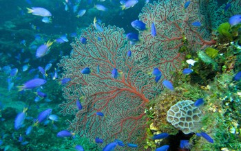 Blue fish in the coral reef under water