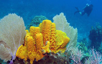 Scientists research chemical defenses in tube sponges off Little Cayman Island.