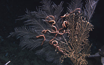 Photo of a sea fan with anemone and brittle starfish clinging to its branches.