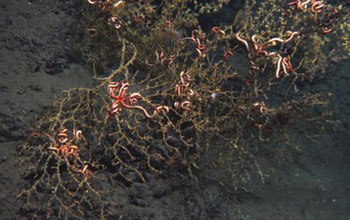 Photo of deep-sea coral colonies with dark wilted branches.