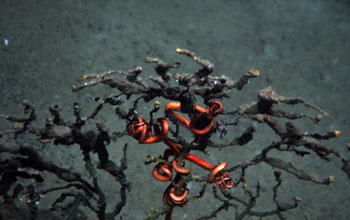 Photo of a dead deep-sea coral with orange branch tips and brittle starfish.